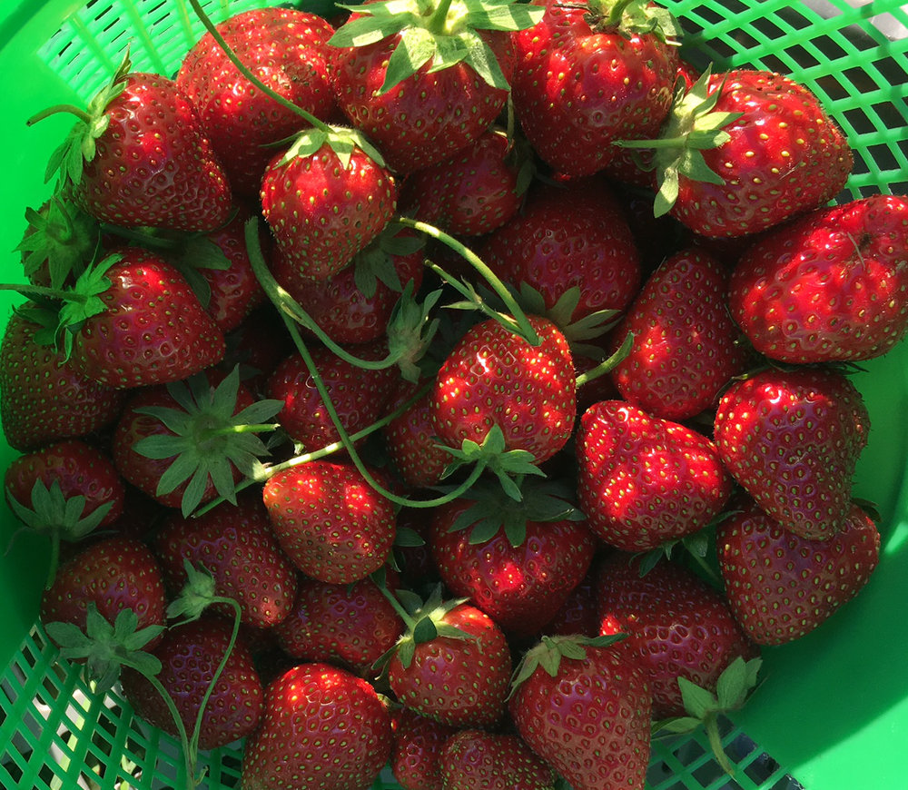 Rhody_strawberries.JPG