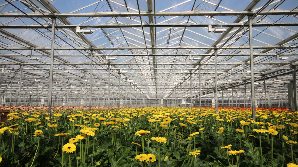 products-horticulture-led-yellow-daisies.jpg