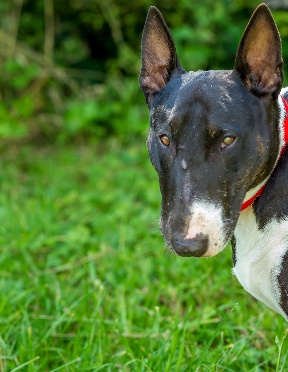 A rescued English Bull Terrier whose history was horrible, her new life is so much better!