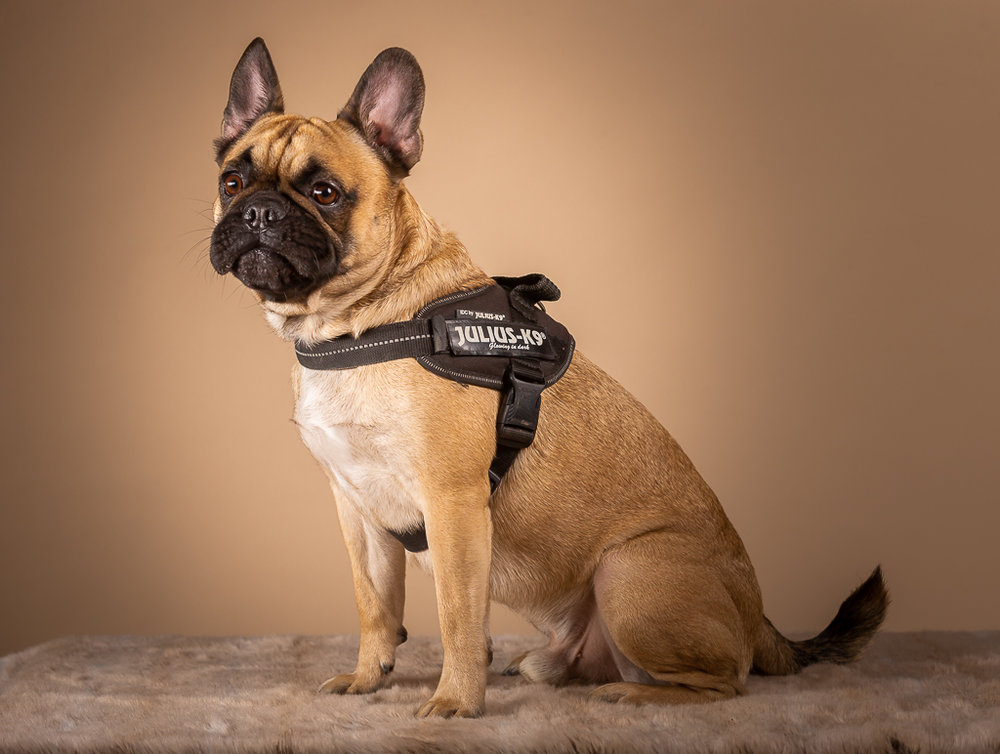 frank in his julius k9 harness-9057-3.jpg