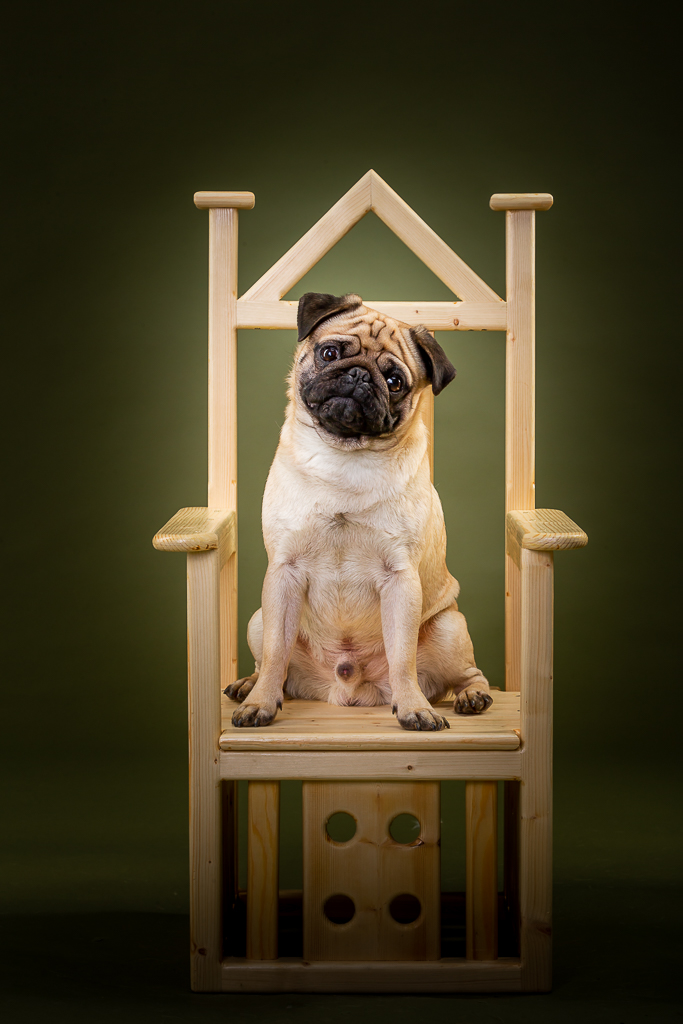 Bruce the pug on a chair.-0725.jpg
