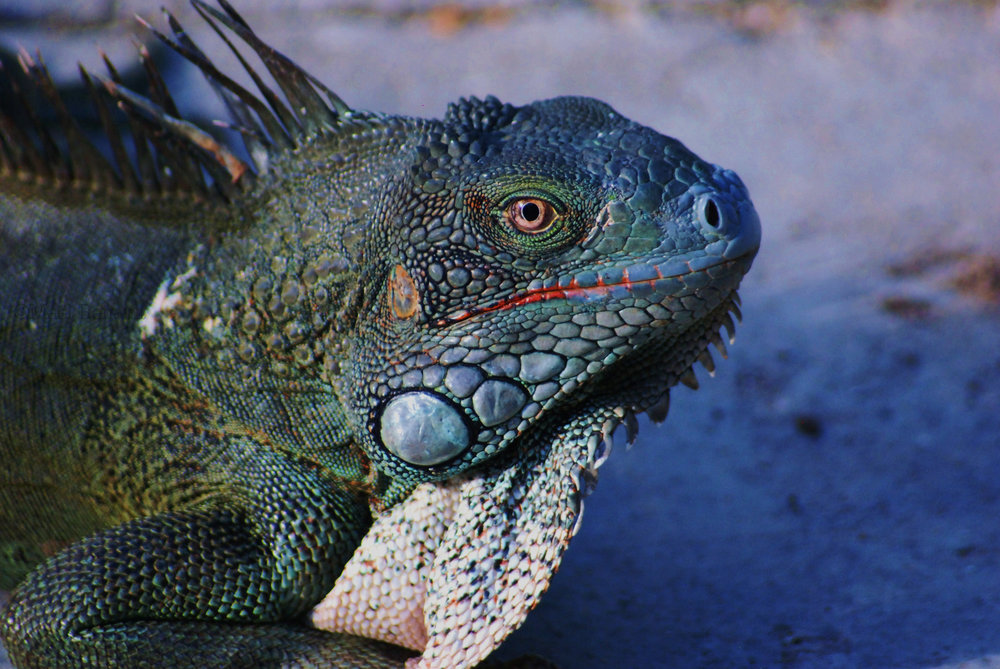 Iguana / Wildlife