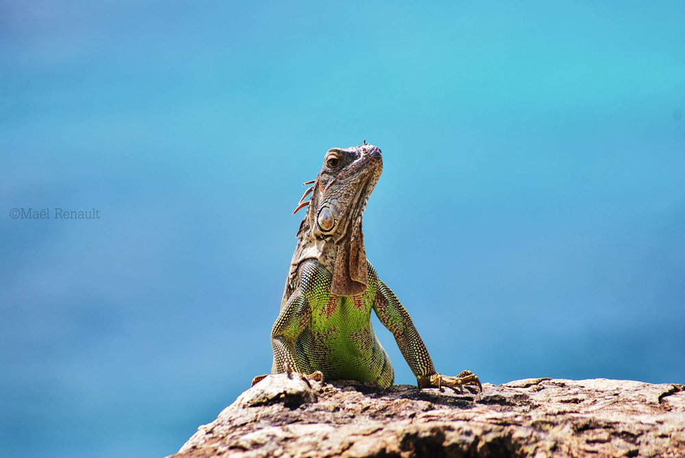 Fam Iguana / Wildlife