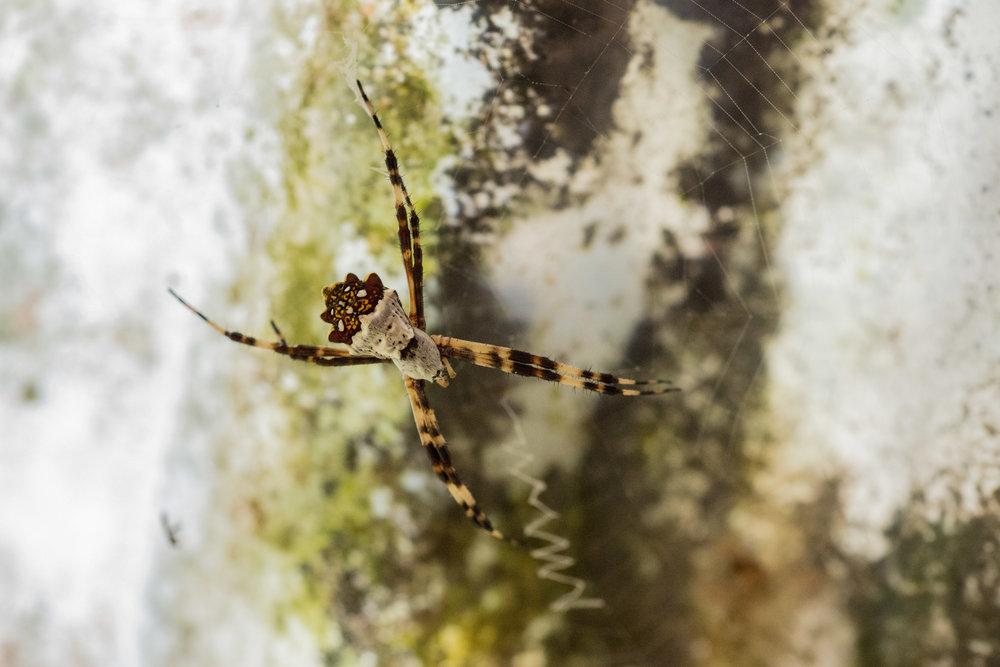 Spider Argentata / Wildlife