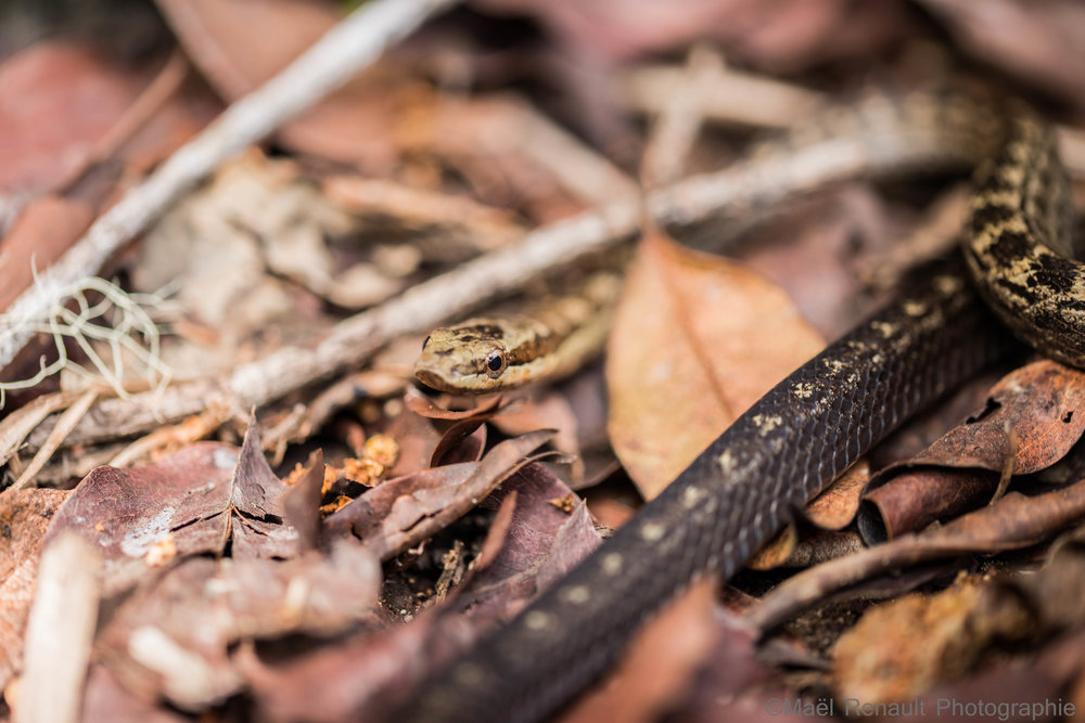Snake St Eustatius island / Wildlife