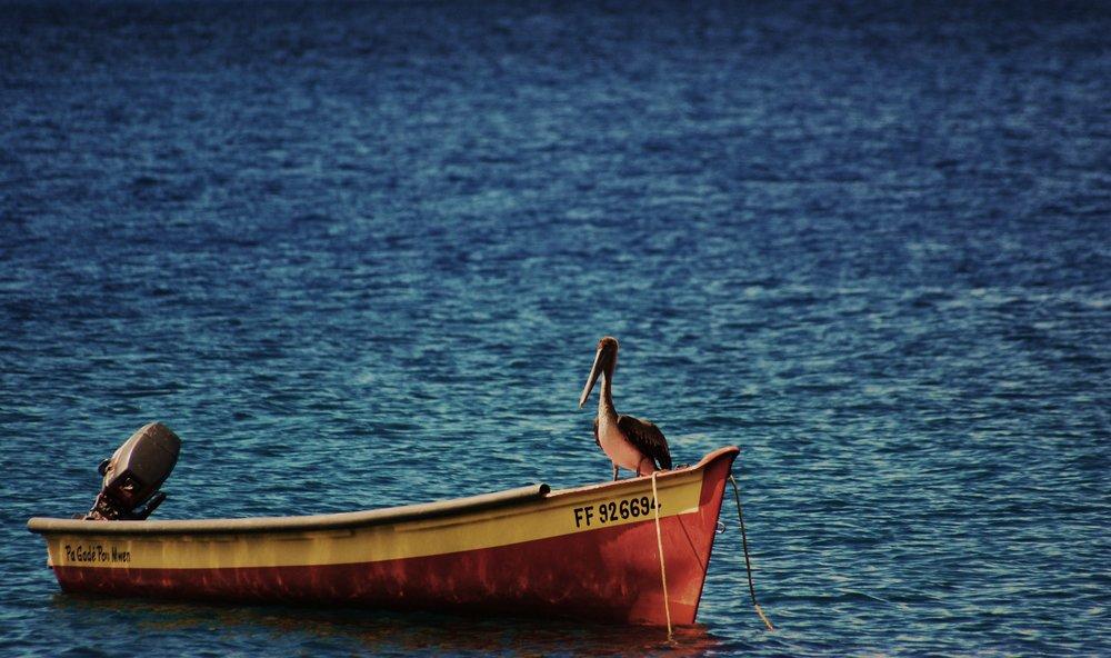 Pelican / Wildlife