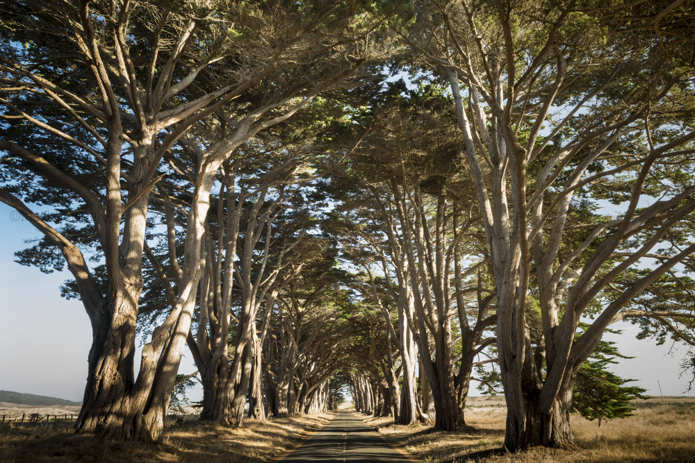 Cypress tree tunnel / California