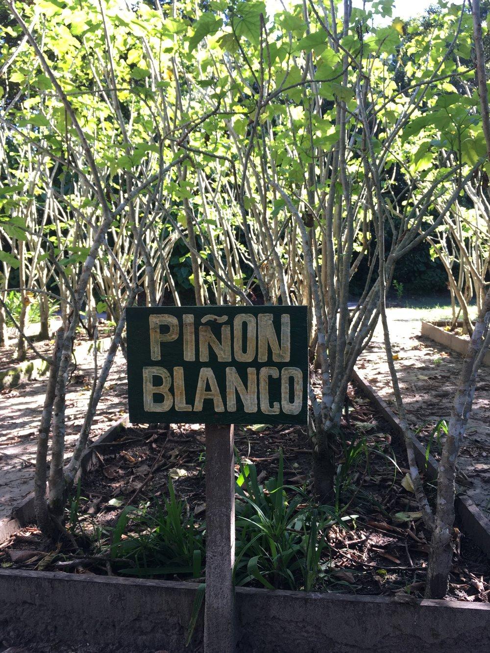 Пион Бланко 1.jpg