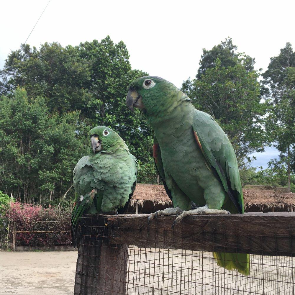 Зеленые попугаи.jpg
