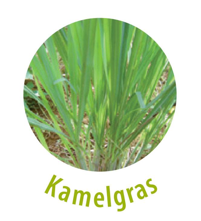 Das Kamelgras gehört zu der Gattung der Zitronengräser. Aus dieser Pflanze wird ein ätherisches Öl hergestellt, welches als Duftstoff verwendet wird. Der Extrakt des Kamelgrases wirkt reizlindernd und juckreizstillend.