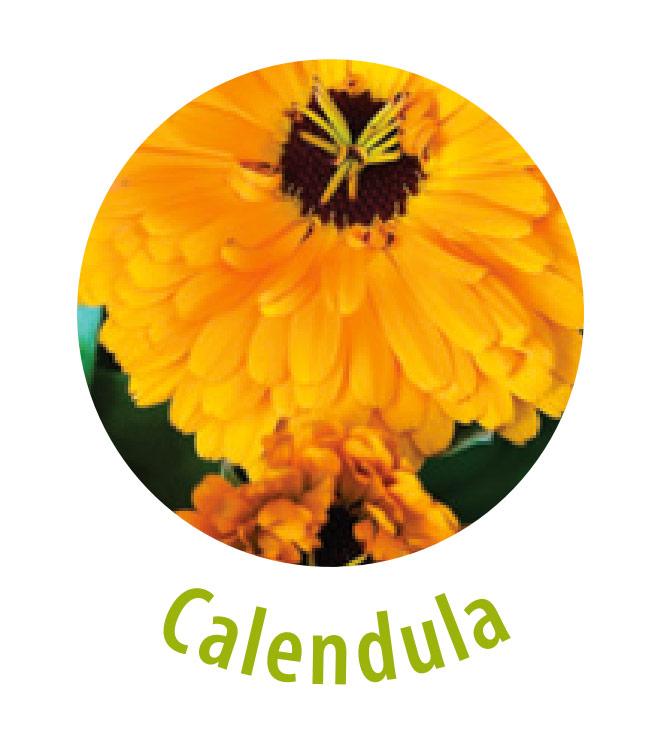 Die Calendula, auch Ringelblume genannt, gehört zu der Familie der Korbblütler. Diese Pflanze wird gegen Hühneraugen, trockene und rissige Haut, Neurodermitis sowie für die Wundheilung eingesetzt.