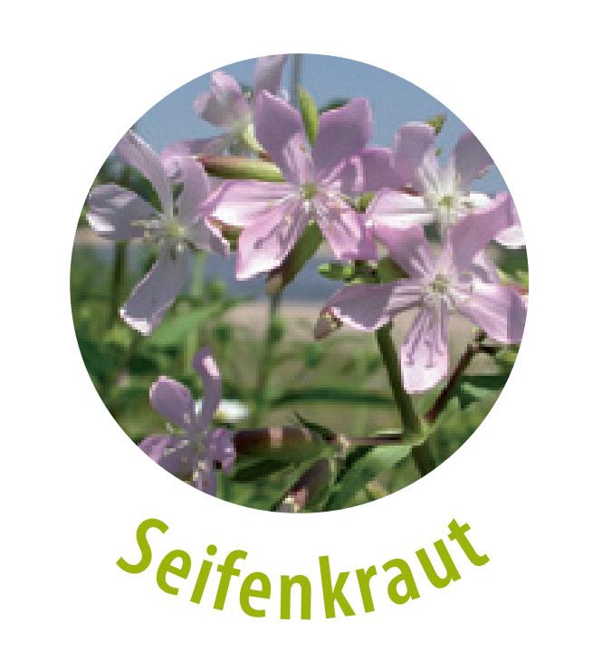 Das Seifenkraut gehört zu der Familie der Nelkengewächse und weist einen hohen Gehalt an Saponinen auf. Die Pflanze wirkt Stoffwechselanregend und gegen chronische Hautleiden.