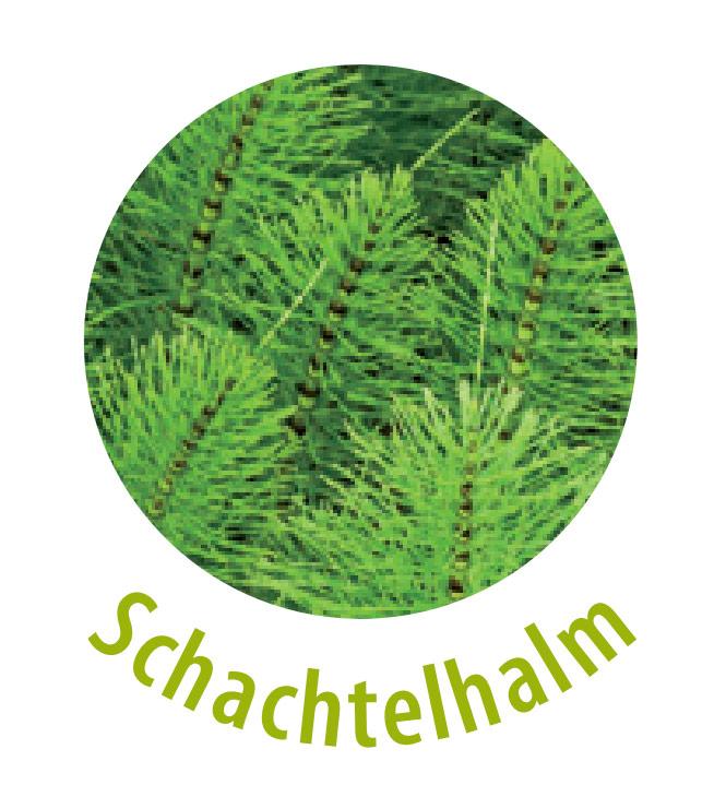 Schachtelhalm gehört zu der Abteilung der Gefäßpflanzen und ist das pflanzliche Schmirgelpapier, da es viel Kieselsäure enthält. Diese Pflanze wirkt aquaretisch, also wassertreibend. Schachtelhalm wird zur Pflege der Haut sowie bei juckenden Ekzemen und Wunden eingesetzt.