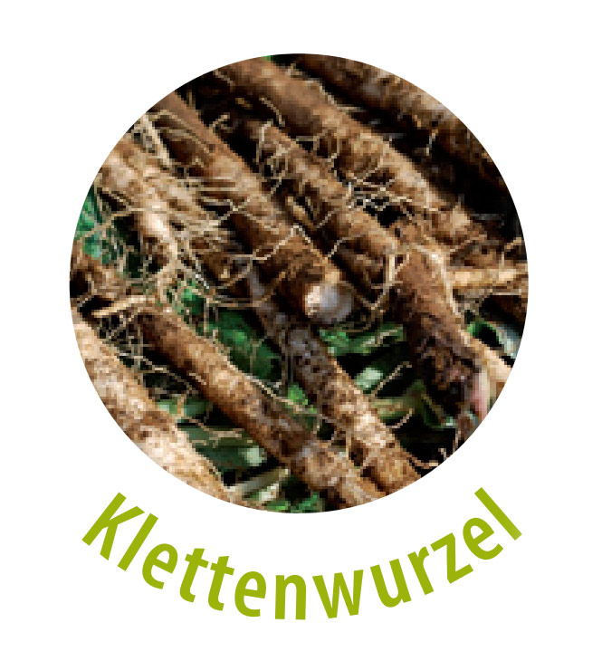 Die Klettenwurzel ist eine entgiftende Heilpflanze und gehört zu der Familie der Korbblütler. Diese Pflanze hat eine heilende Wirkung gegen Hautunreinheiten, offene Wunden und Schuppen.