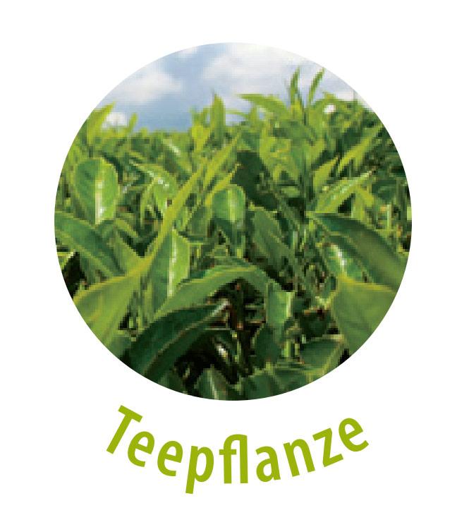 Die Teepflanze enthält für den menschlichen Körper wichtige Stoffe, wie zum Beispiel Gerbstoffe, Mineralstoffe, Vitamine, Aminosäure und Flavonoide, welche sekundäre Pflanzenstoffe mit einer antioxidativen Wirkung sind. Die Teepflanze wird gegen Unreinheiten eingesetzt und hilft bei der Wundheilung.