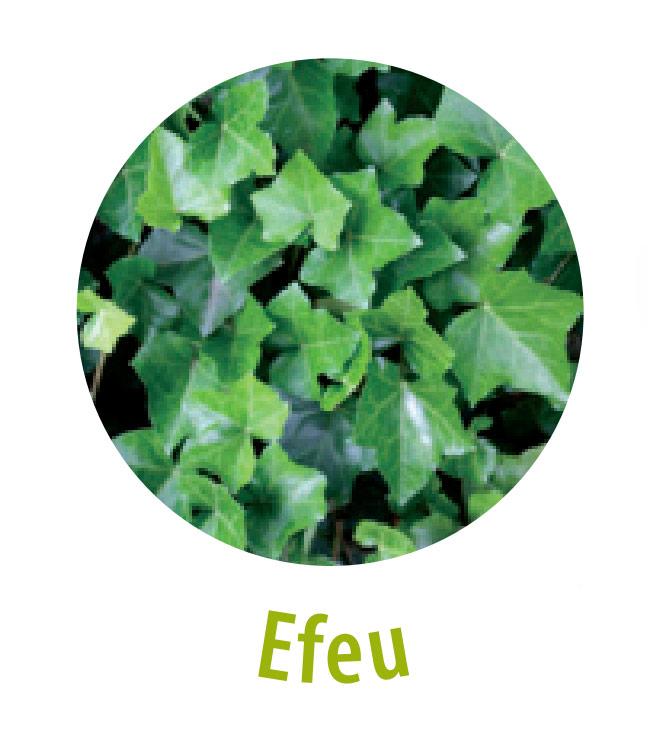 Das Efeu gehört zu der Familie der Araliengewächse und ist bei einer starken Dosierung giftig. Dennoch hat das Efeu in einer geringen Konzentration eine Heilwirkung, wie zum Beispiel bei Schmerzen, Wunden und Cellulite.