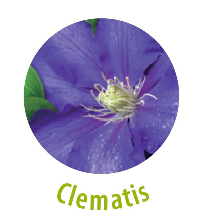 Die Climatis gehört zu der Familie der Hahnenfußgewächse. Im rohen, unverarbeiteten Zustand ist diese Pflanze leicht giftig, weshalb sie auch Bestandteil der Notfalltropfen ist. Die Clematis wirkt gegen Hautausschlag, Hautjucken und Nervenschmerzen.