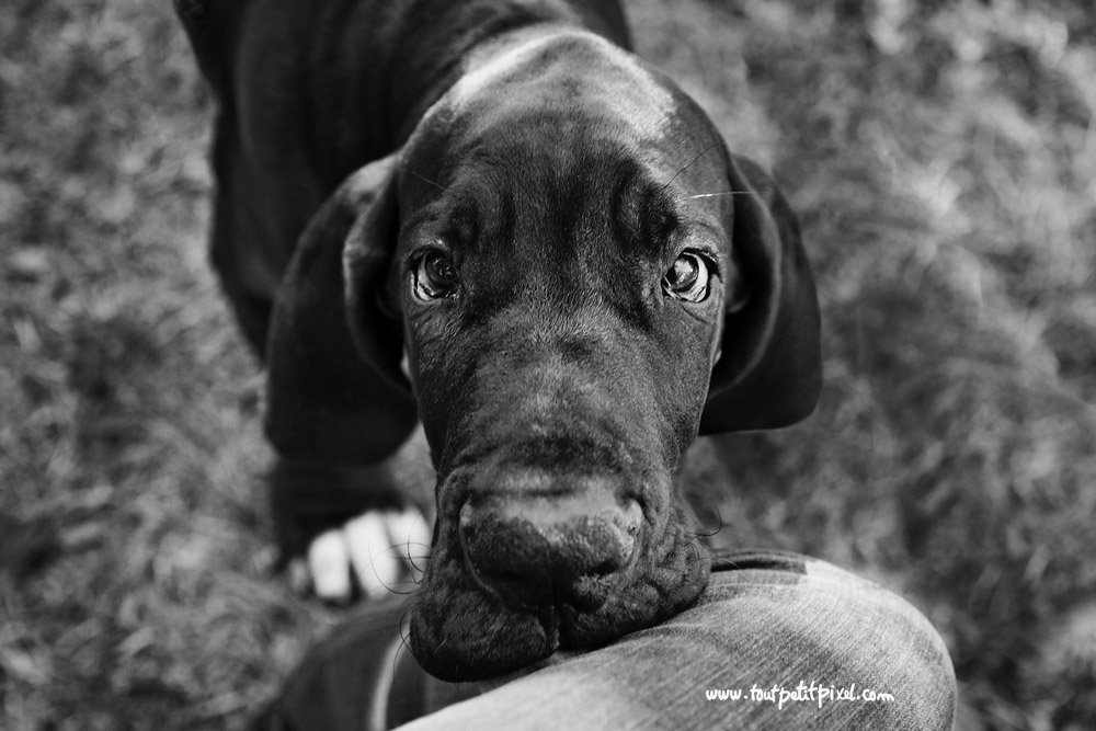 bebe-dogue-allemand.jpg