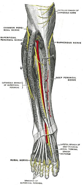 Deep peroneal nerve.png