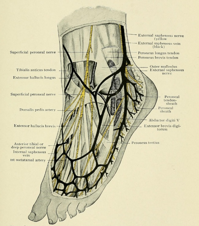 Nerve Blocks Of The Foot And Ankle Down East Emergency Medicine