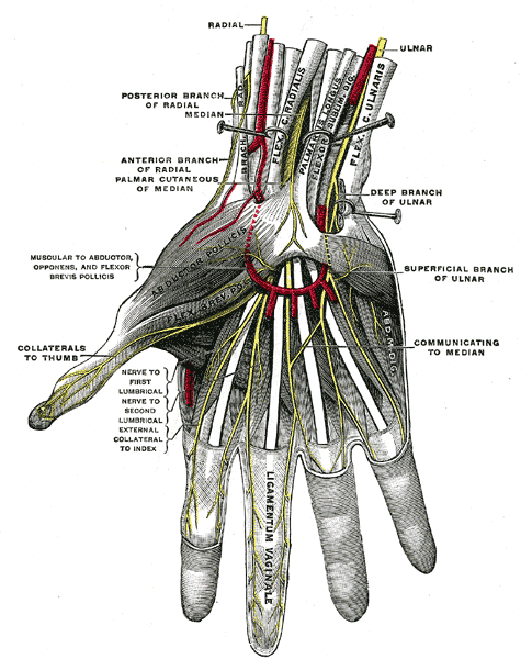 Nerve Blocks of the Hand and Wrist — Down East Emergency Medicine