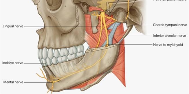 Nerve Blocks Of The Face And Mouth Down East Emergency Medicine