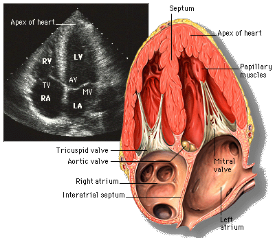https://commons.wikimedia.org/wiki/File:Apical_4_chamber_view.png