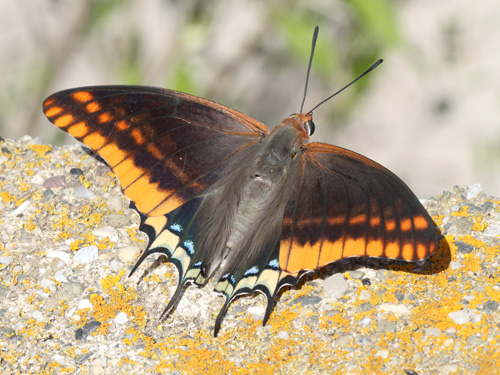 Charaxes jasius (two tailed Pasha).jpg