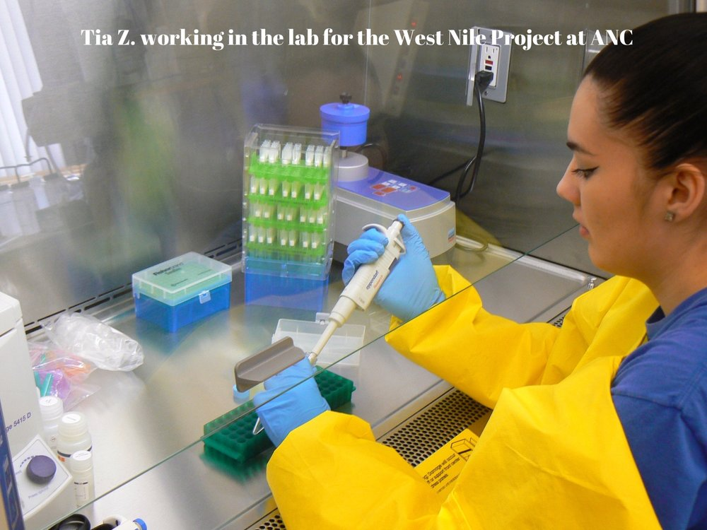 Tia Z. working in the lab for the West Nile Project at ANC