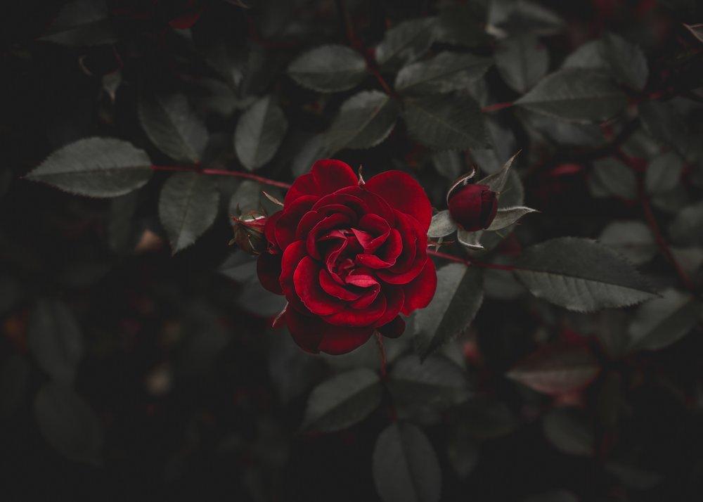 rose gratitude