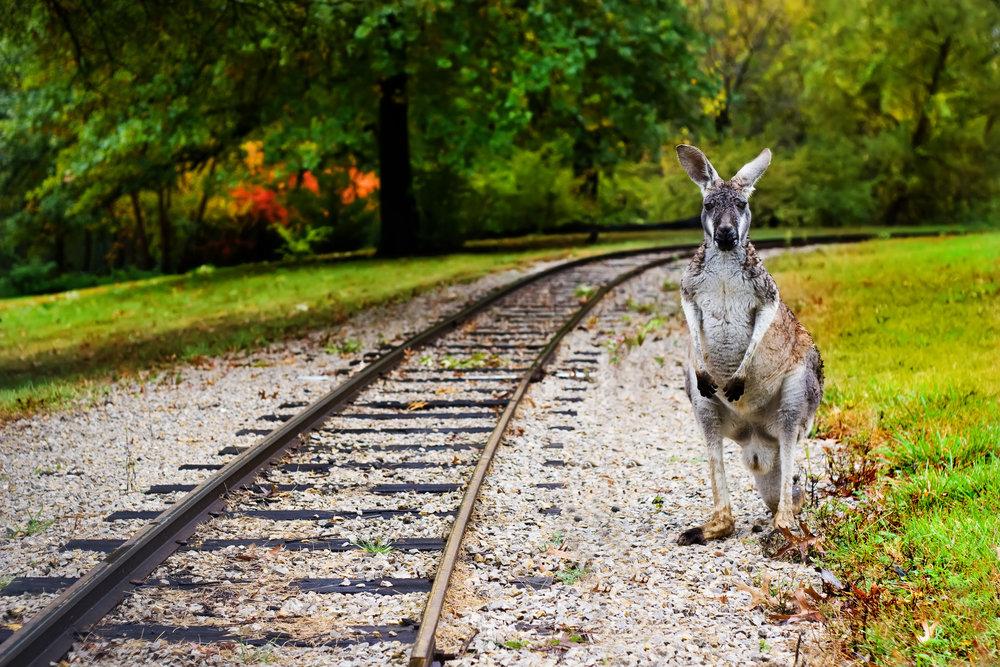 phoebe kangaroo