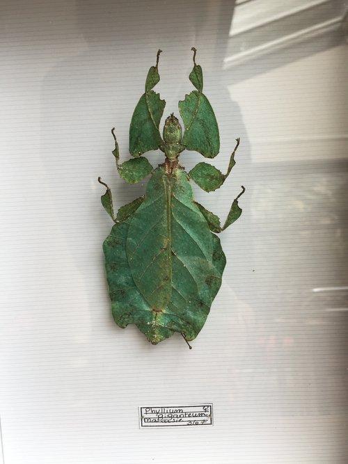 taxidermiste insecte
