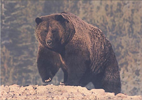 grizzly-bear-hunting-bc