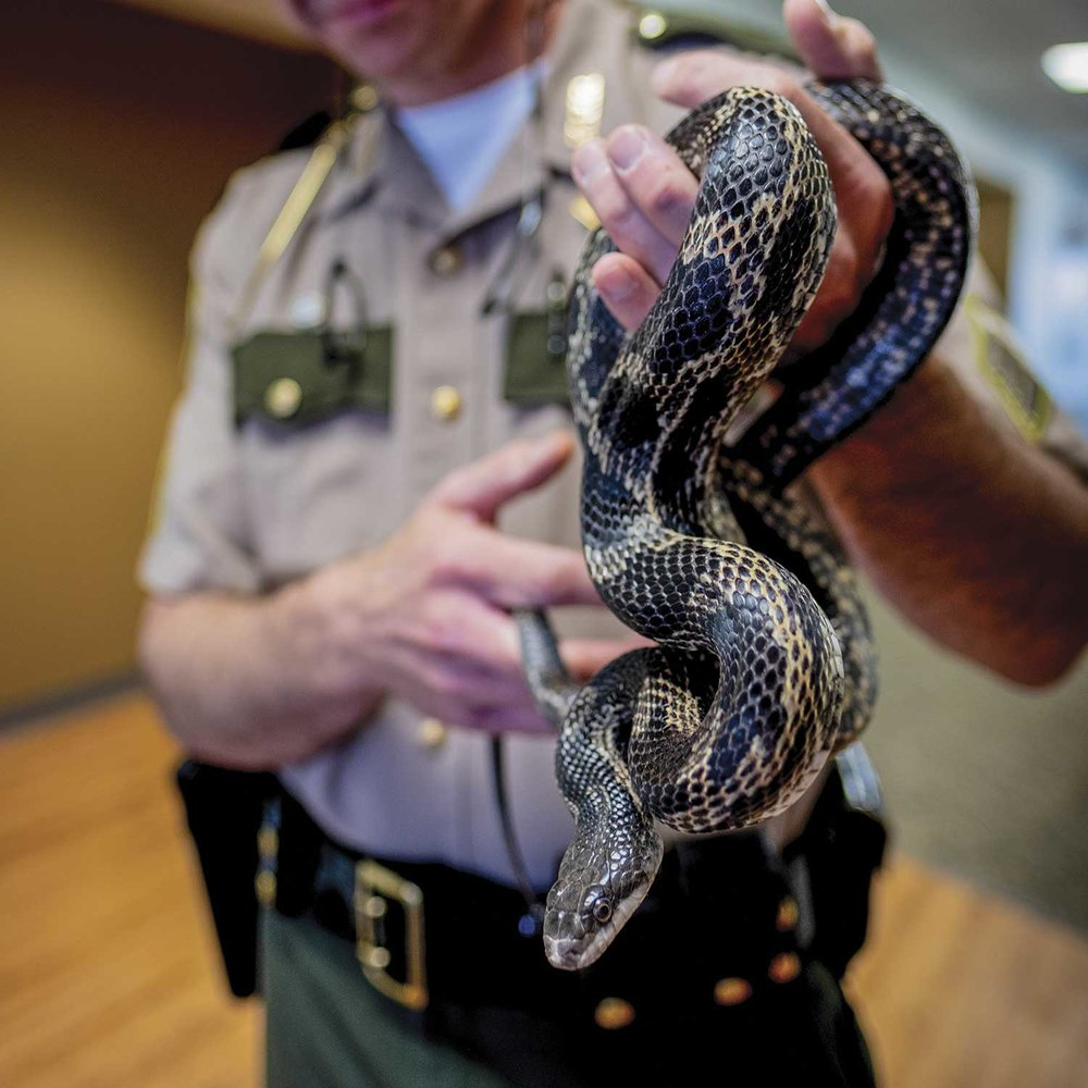 Kentucky Park Ranger Sgt. Randy Moore handles a rat snake at Kentucky Dam Village State Report Park. Snakes are common throughout the state- park system, and they include venomous and non-venomous snakes, which can present its own challenges to park rangers. (Photo by Jim Robertson)