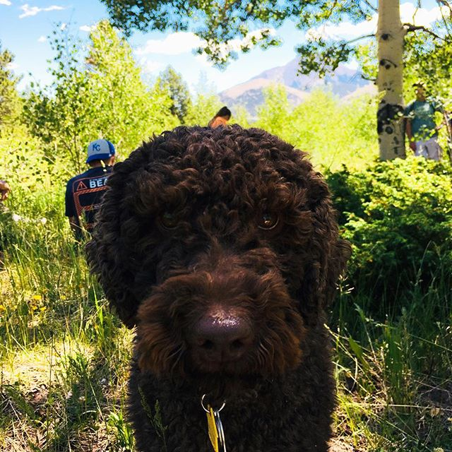 Hiking with Alfie in Cuchara Colorado last Monday with Bruce Johnson #cucharavalleyrec, what a wonderful day. #cuchara #cucharacolorado #lavetacolorado #huerfanocounty #springcreektrail #springfire #australianlabradoodle #hiking #hikingcolorado #southerncolorado