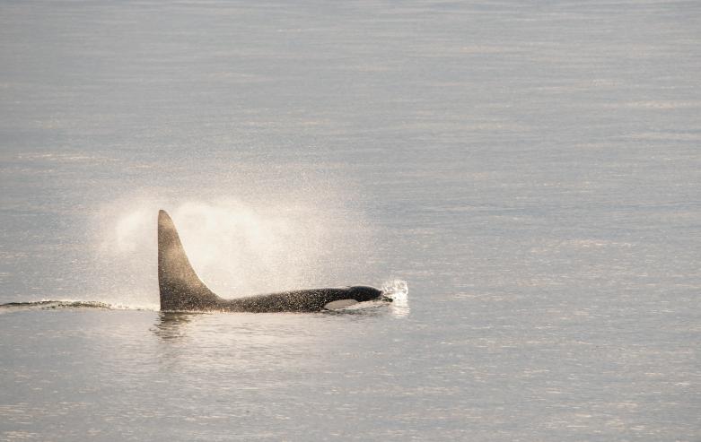 Orca breeching in Alaska
