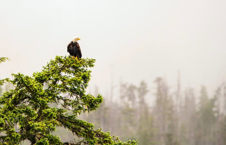 Mature Bald Eagle sitting in a tree