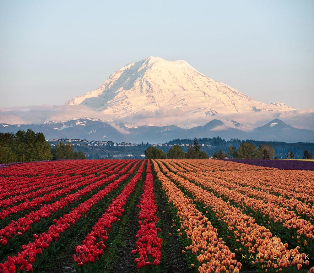 Mount-Rainier-and-Tulips-in-Washington-by-Mary-Parkhill-of-Mary's-Mark-Photography.jpg