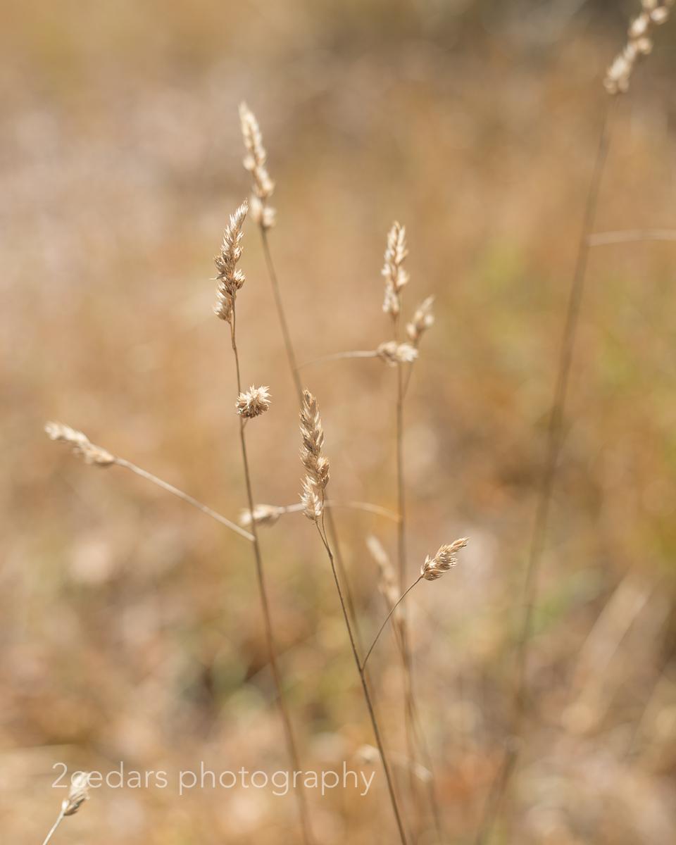 Golden grasses at Fort Steilacoom near Tacoma
