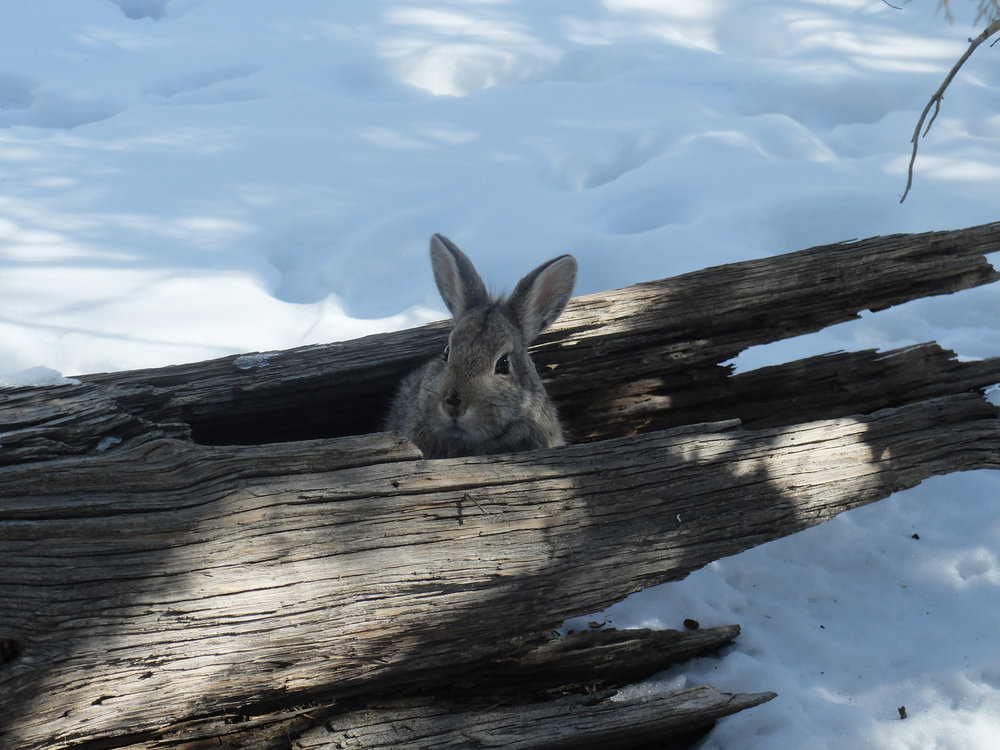 A rabbit pokes her head out of a downed log in a treatment area. Downed wood and fire scarred trees provide excellent habitat for many small woodland creatures.