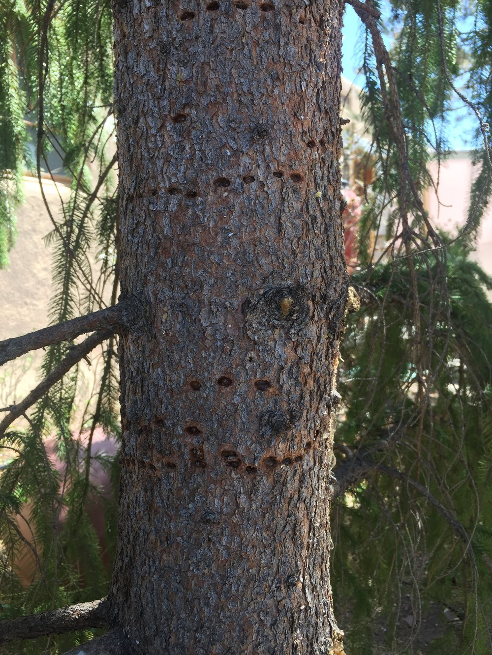 A woodpecker pecked this tree to locate the beetle larvae living under the bark. Tree thinning promotes individual tree health.