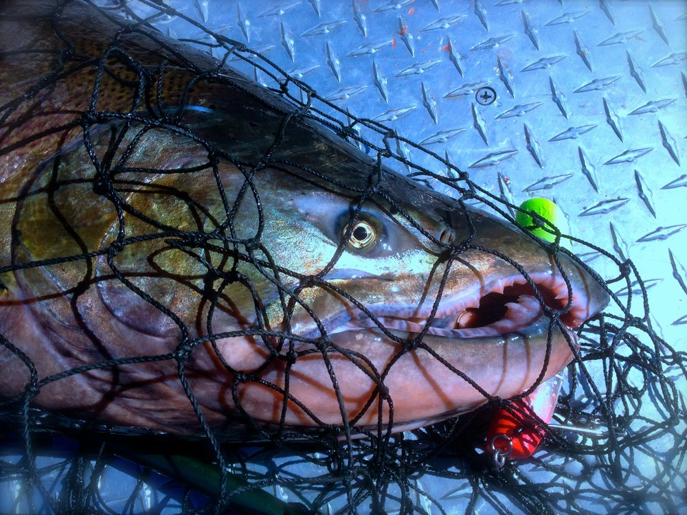 """Sacramento River """"late fall"""" King salmon can often exceed 35-45+ pounds!"""