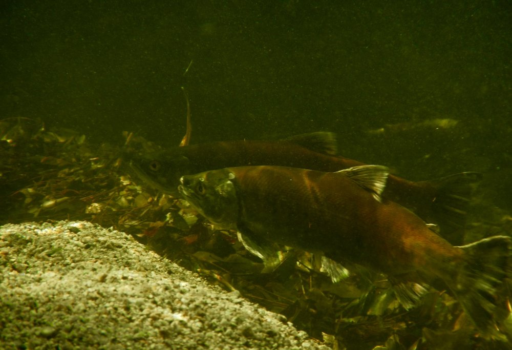 Whiskeytown Lake Kokanee spawning in Brandy Creek in November 2016.