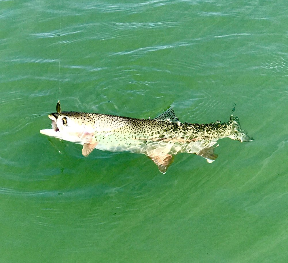 Wild Sacramento River rainbow trout...