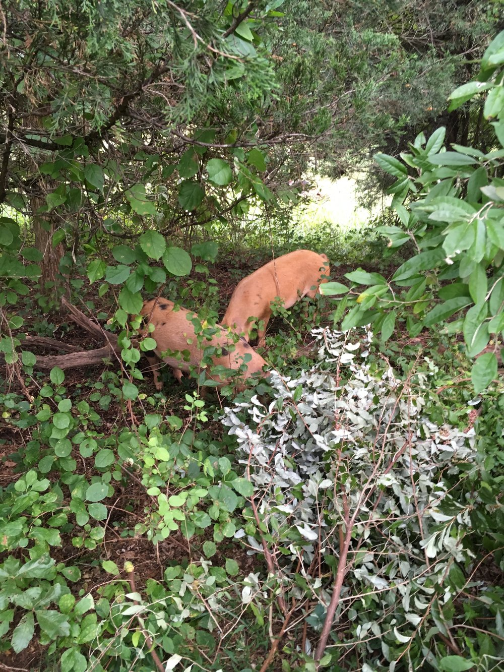 pigs in the woods.JPG
