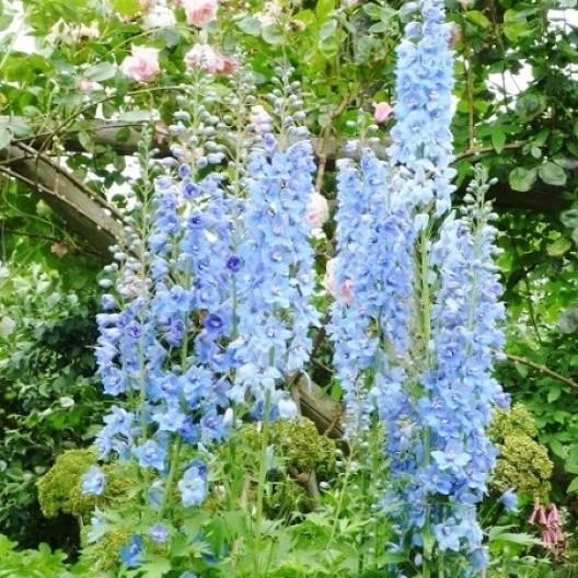 Blue Delphinium (larkspur)