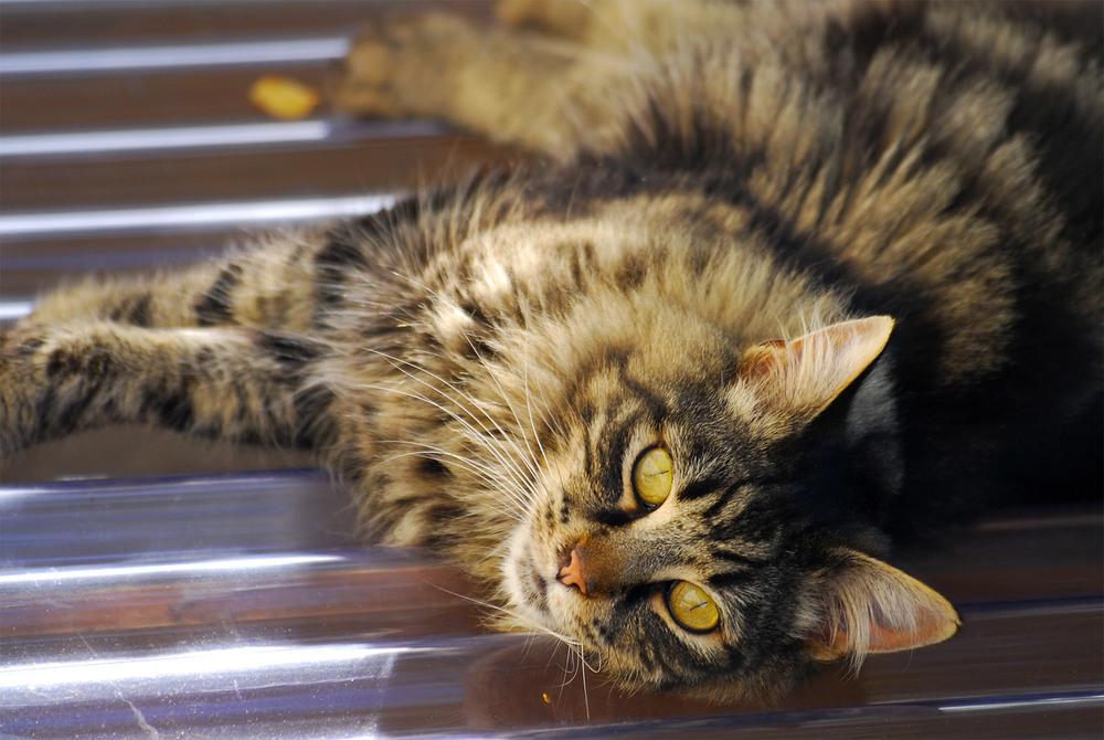 Tweety, 广受客人喜爱的猫