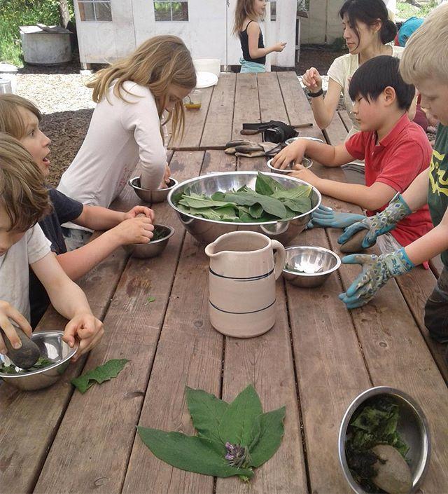 Making comfrey poultice (grades 1-3). #comfrey #herbalism #permaculturekids #permaculturepdx #portlandoregon #outdoorschool #farmschool #wildcraft #herbalist