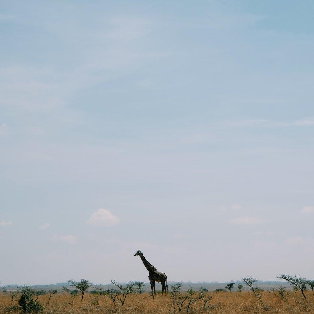 Giraffe in Nairobi National Park by Joost Bastmeijer.jpeg