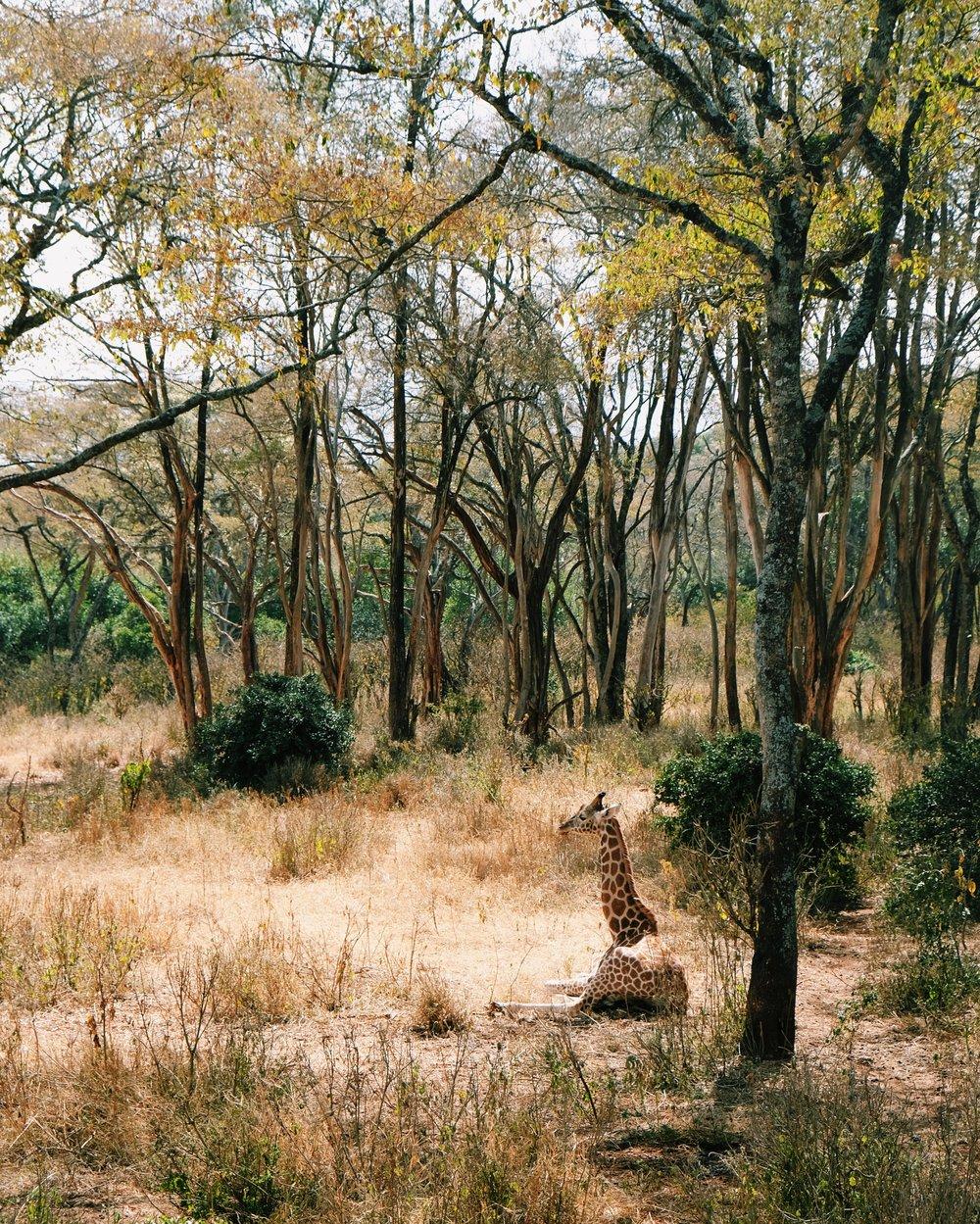 Giraffe Center in Nairobi National Park 2 by Joost Bastmeijer.jpeg